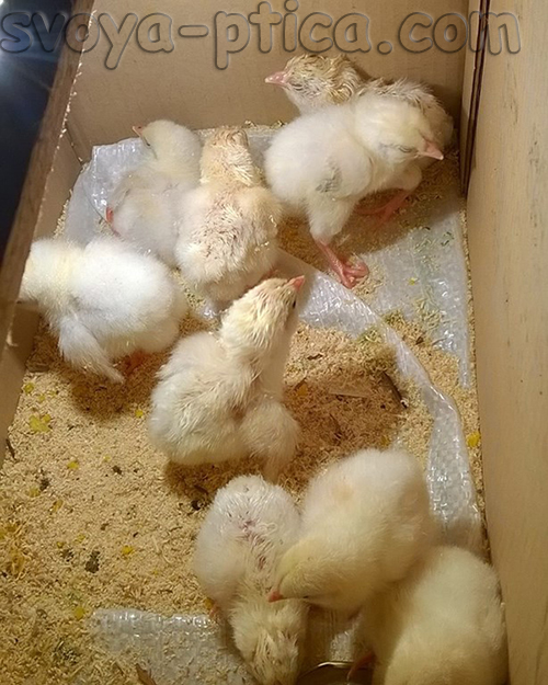 Цыплята из домашнего инкубатора
