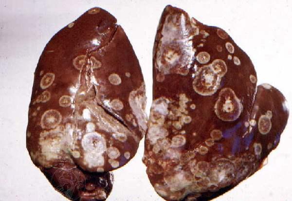 Признаки гистомоноза индеек