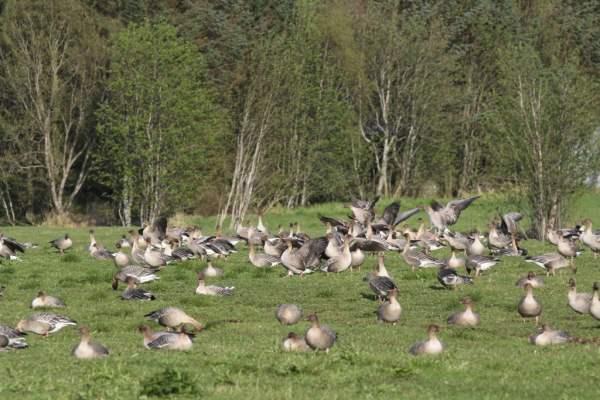 Кормление гусей в домашних условиях