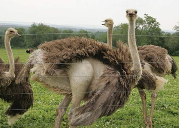 Рацион питания страусов