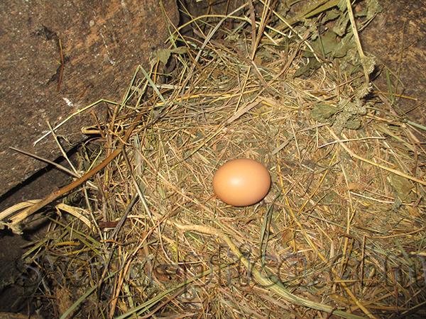 Куриные яйца от новых кур
