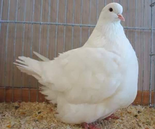 Мясные породы голубей - Монден