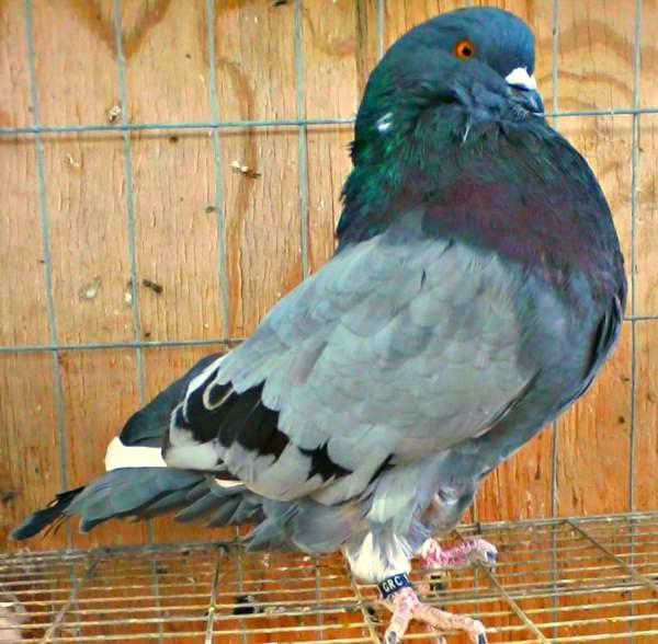 Мясная порода голубей - Римский гигант