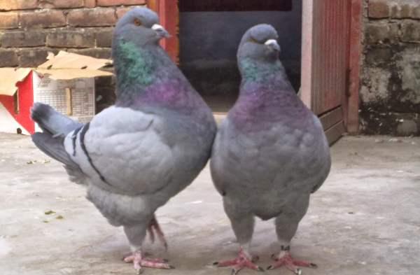 Пара мясных голубей породы Кинг