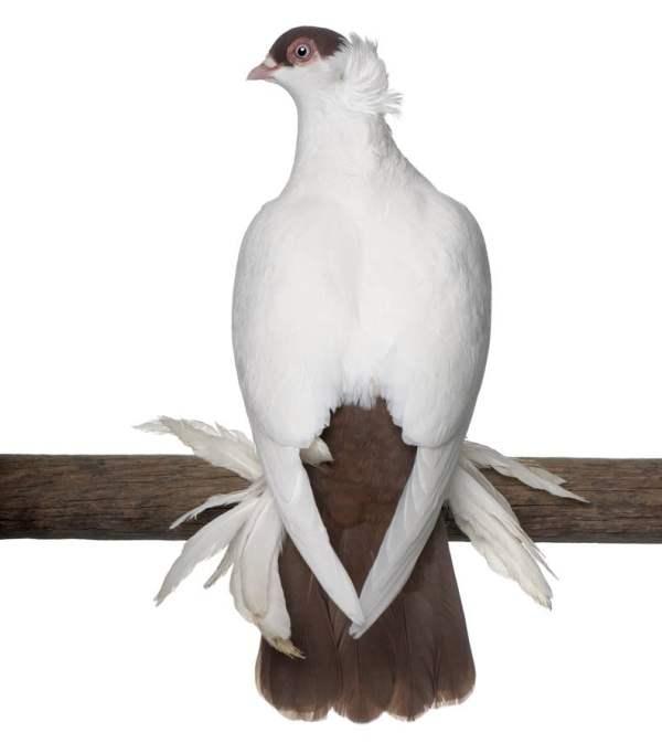 Порода декоративных голубей - Польский шлем