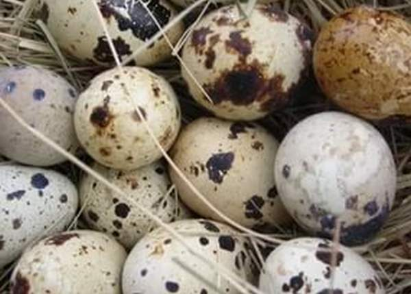 Подготовка перепелиных яиц и инкубатора
