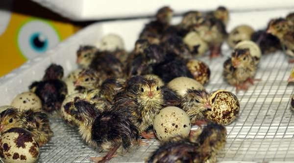 Вывод птенцов перепелов
