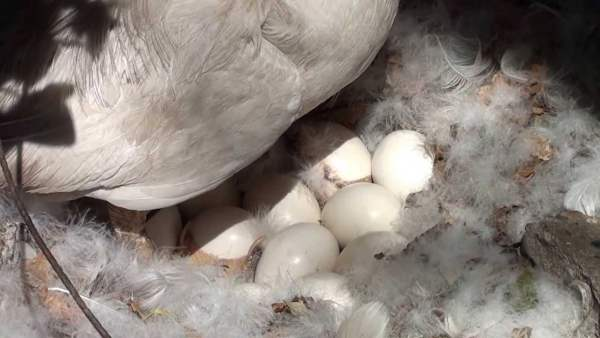 Утиные яйца под наседкой