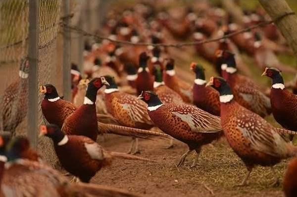 Содержание фазанов в домашних условиях