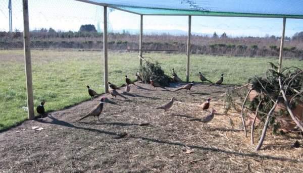 Кормление взрослых фазанов в домашних условиях