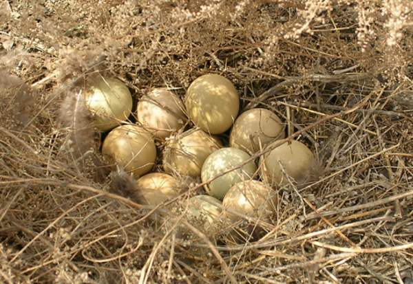 Выращивание фазанов в домашних условиях