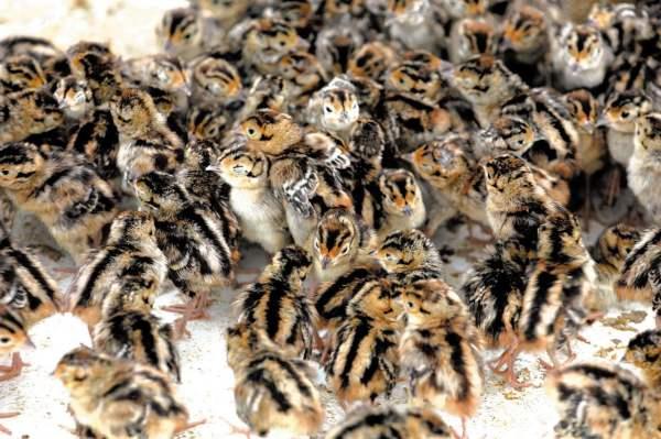 Кормление фазанов в домашних условиях