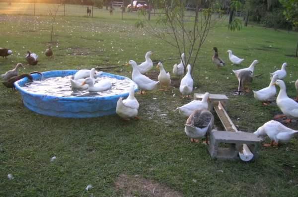 Бассейн для купания гусей