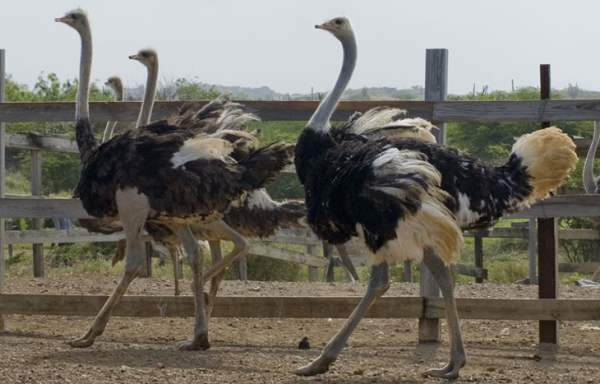 Описание страусов