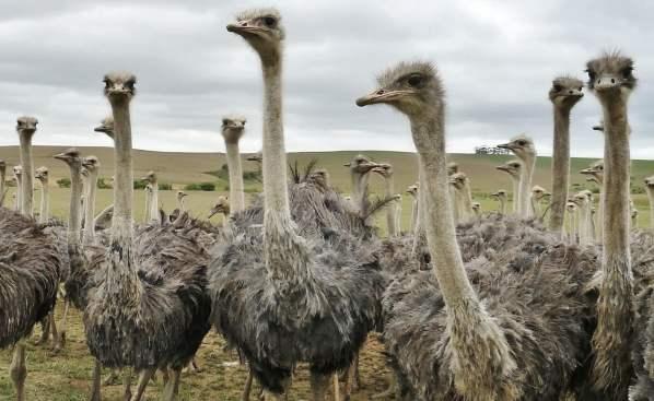 Выращивание страусов в домашних условиях