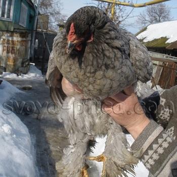 Опыт содержания и выращивания кур