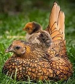КураВиандот с цыпленком