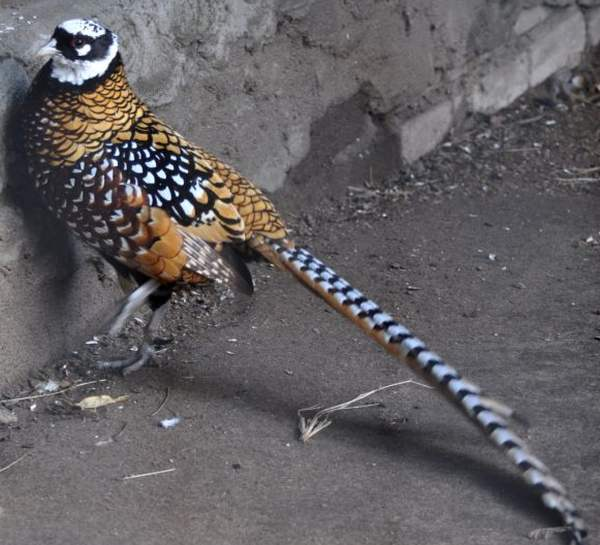 Породы фазанов - королевский фазан