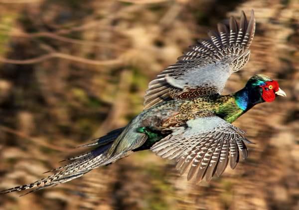 Виды фазанов с фото и описанием