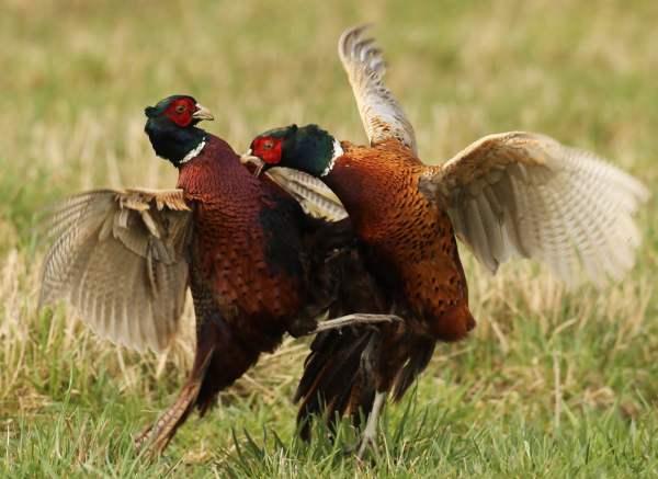 Бои фазана обыкновенного