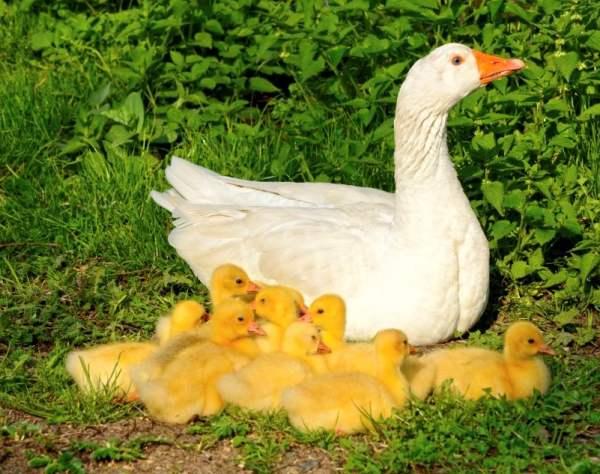 Основные требования к рациону гусей