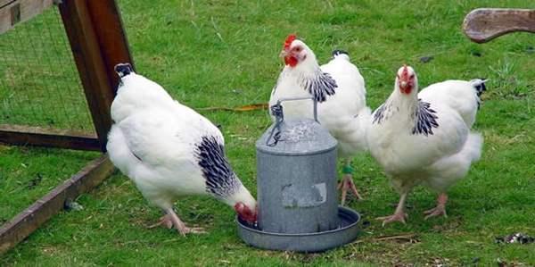 Основные компоненты питания кур