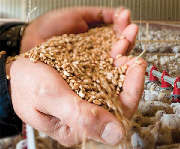 Кормление кур зерновыми