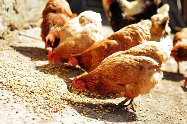 Зерновые культуры в рационе птиания кур