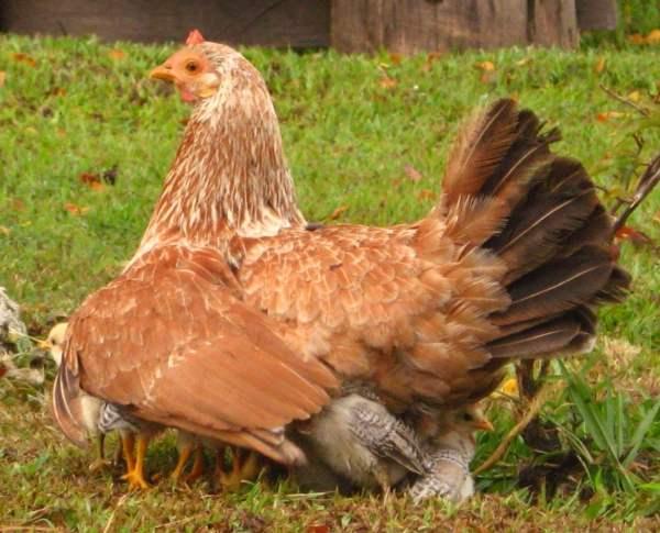 Курица наседка - вывод цыплят