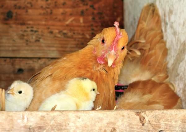 Домашняя курица наседка c цыплятами