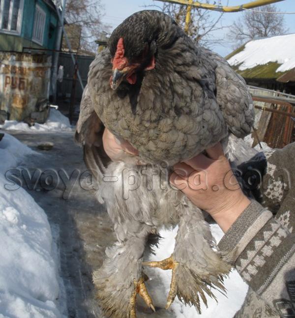 Дымчато-серая курица породы Брама