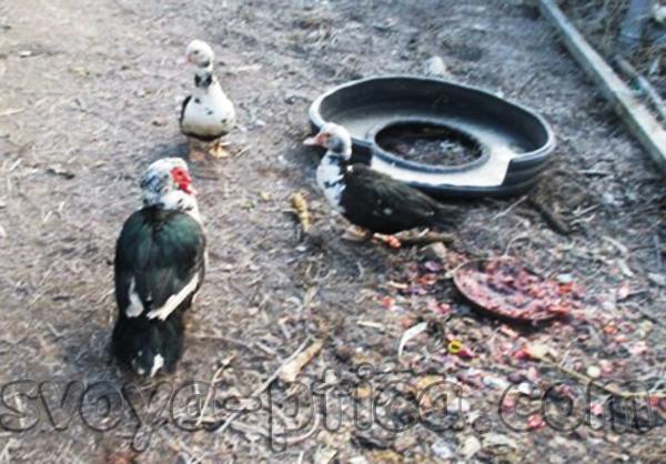 Мускусные утки в домашних условиях
