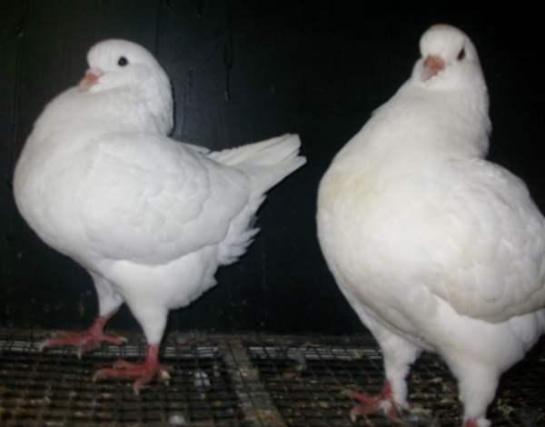 Мясные породы голубей - Кинг