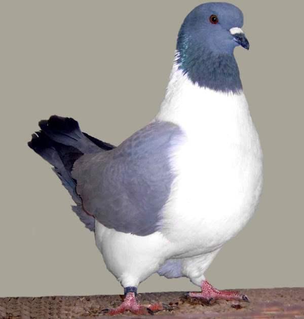 Штрассер - голуби немецкой породы