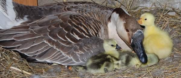 Подробно о разведении гусей в домашних условиях
