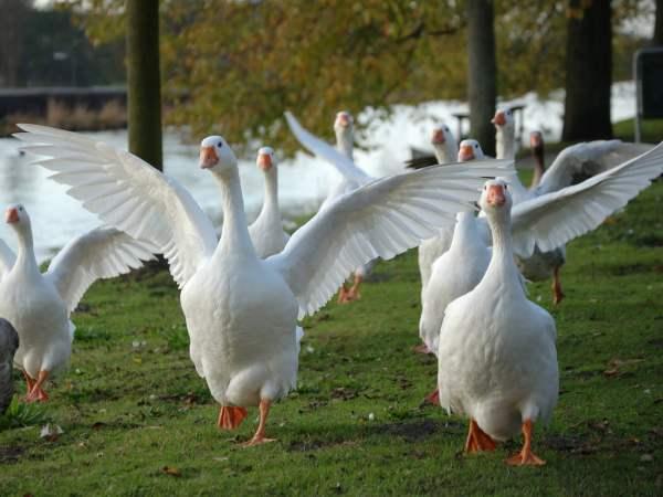 Особенности содержания взрослых гусей