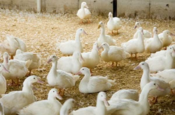 Утки – условия содержания в приусадебном хозяйстве