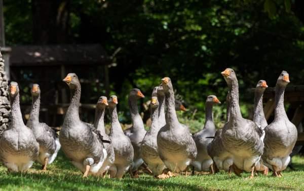 Стафилококкоз птиц – признаки, лечение и профилактика