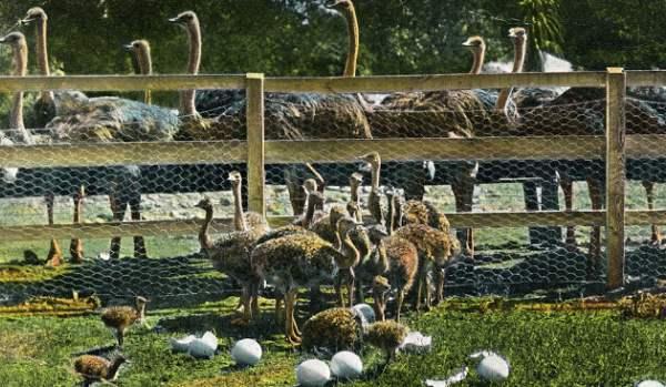Содержание молодняка страусов в домашних условиях