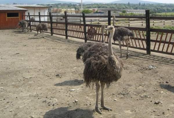 Посадка молодняка страусов