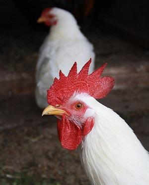 Породы домашних кур