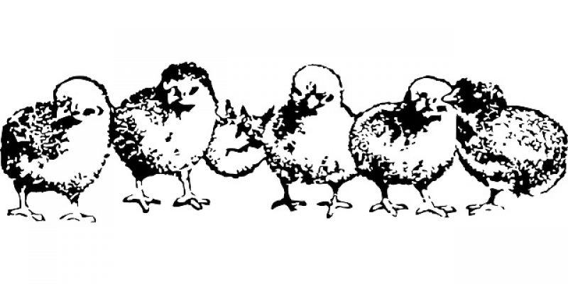 ТАДЖИКИСТАН: Первые поставки племенной птицы кросса Кобб