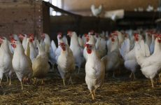 США: Птицеводство обеспечивает 1,6 миллиона рабочих мест