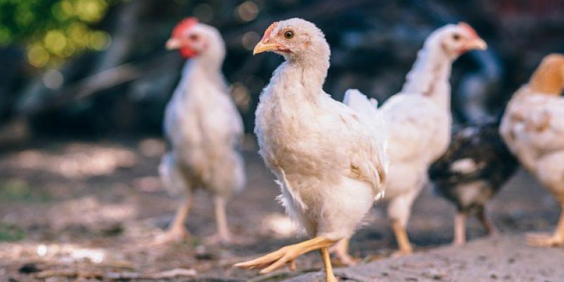 ИРЛАНДИЯ: Поддержка птицеводческой отрасли свободного содержания