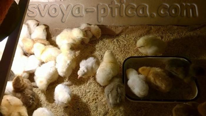 Цыплята Адлерских серебристых кур