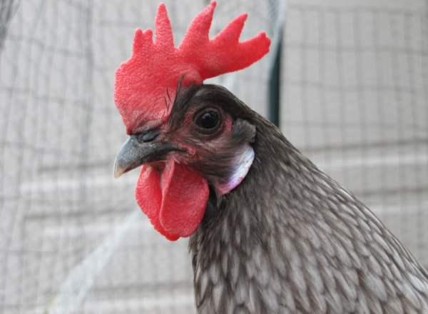 Андалузская порода кур - характеристики и особенности содержания