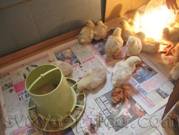 Наши бройлерные цыплята