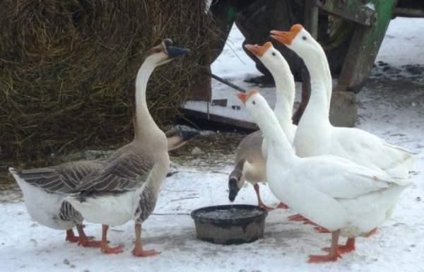 Советы по кормлению взрослых гусей