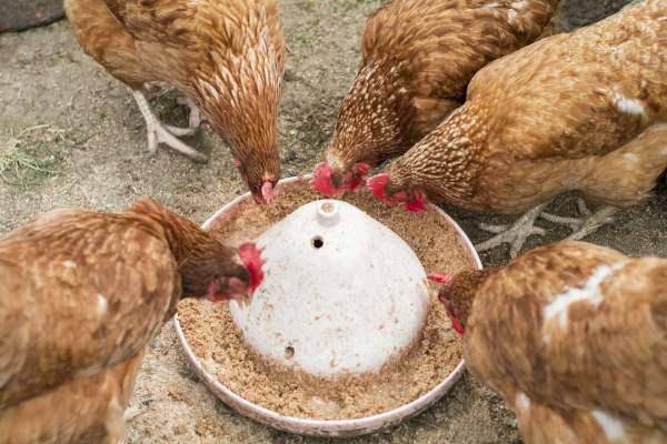Правильное питание кур