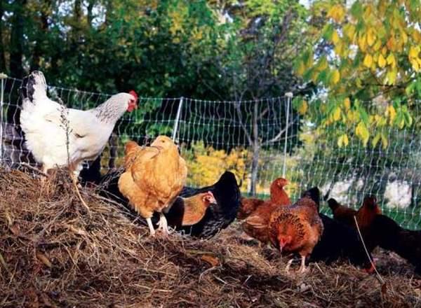Нормыкормления кур